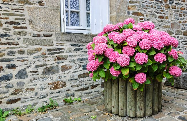 Cuidados de la Hortensia Blog Verdecora