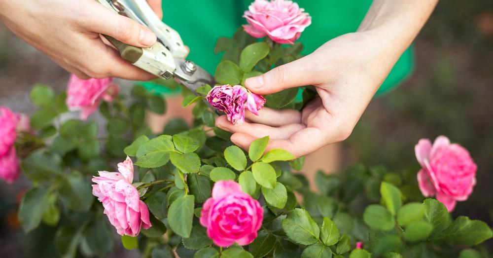 Cuidados Del Rosal En Verano Blog Verdecora