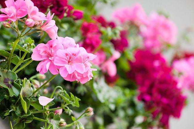 Plantas perfectas para el balcón: geranios