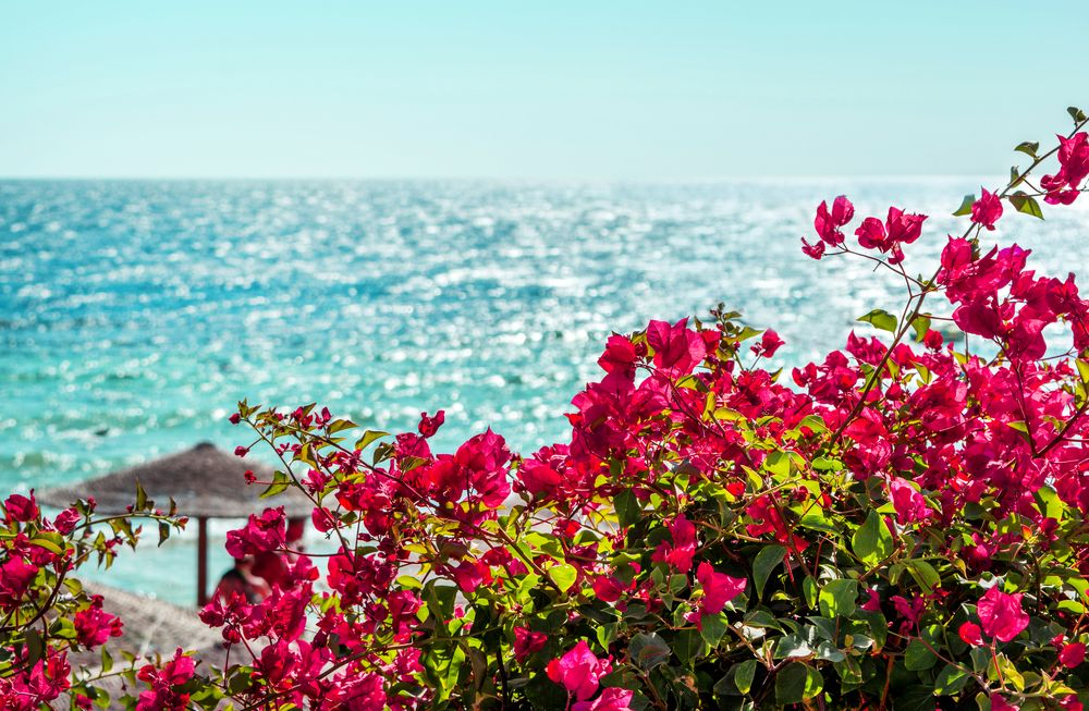 Las zonas costeras son el lugar preferido para la BUganvilla