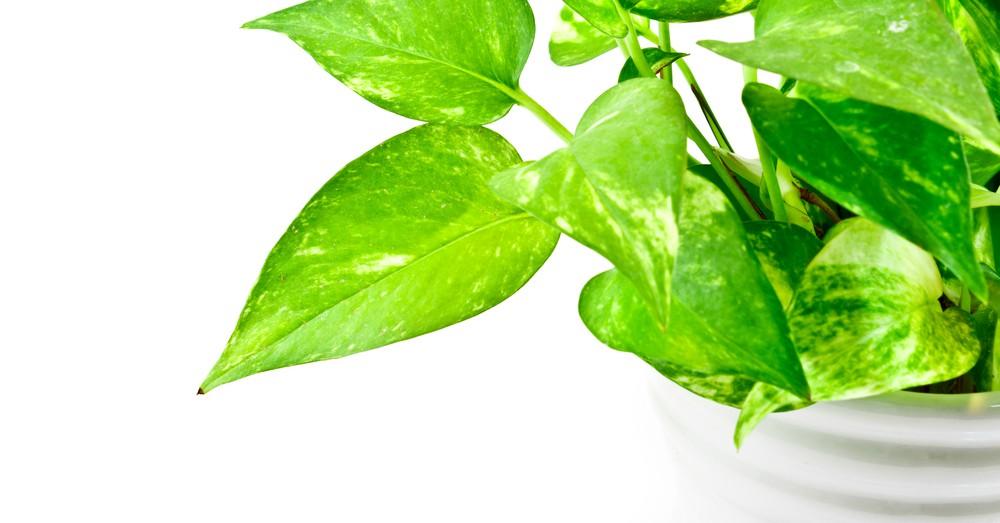 Plantas verdes cuidados del potho blog verdecora for Jardin vertical verdecora