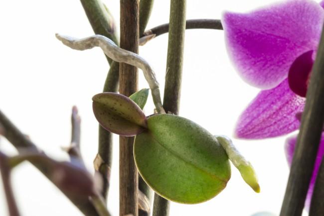 Resultado de imagen de fotos de orquideas con keiki