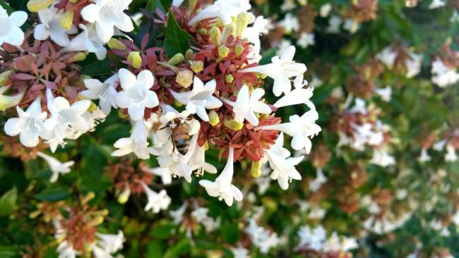 Abelia, planta perenne para el jardín en invierno