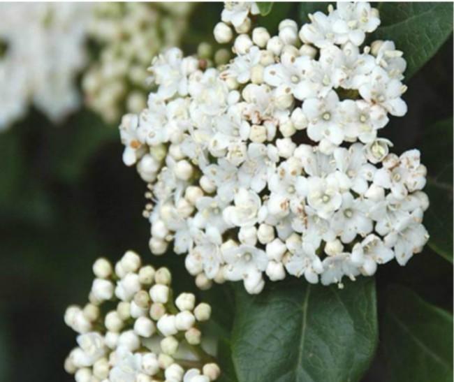 Murillo, planta perenne para el jardín en invierno