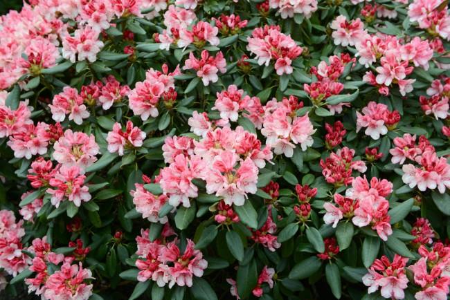 Rododendro, planta perenne para el jardín en invierno