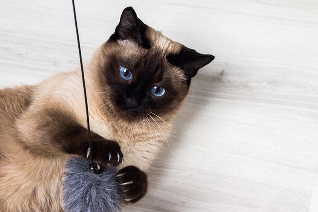 Caracter sticas del gato siam s blog verdecora - Cuidados gato 1 mes ...