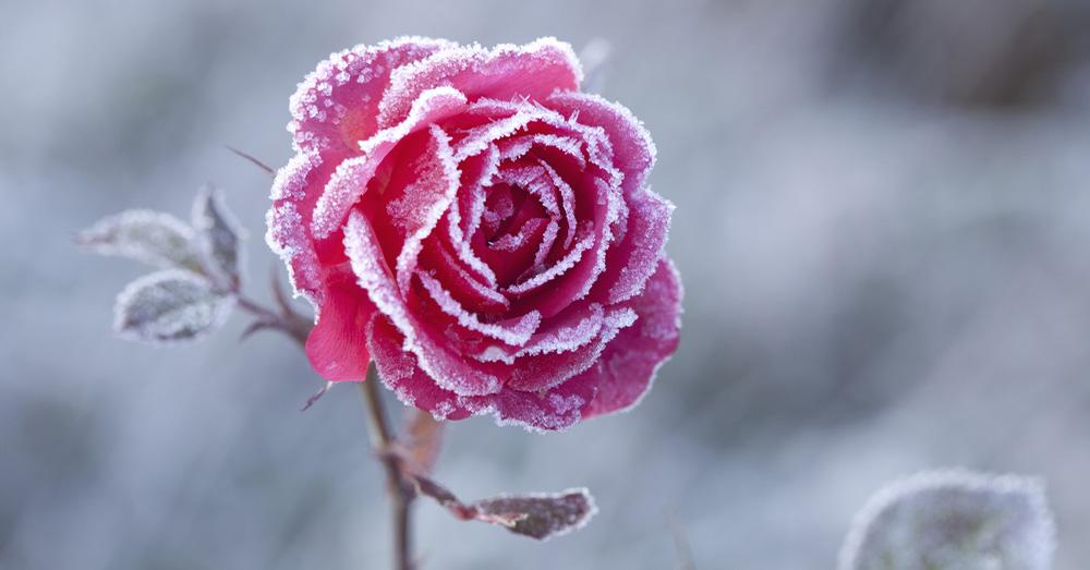 Como injertar un rosal awesome temas de inters with como - Como injertar rosales ...