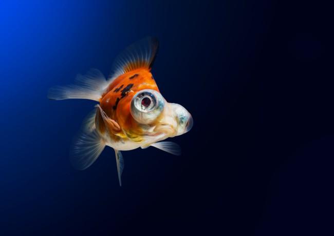 Elegir peces para un acuario de agua fr a blog verdecora for Peces de agua fria carassius