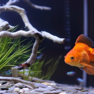 Peces y tortugas mascotas perfectas para ni os blog for Peces acuario agua fria