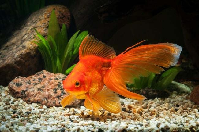 Elegir peces para un acuario de agua fr a blog verdecora for Los mejores peces de agua fria