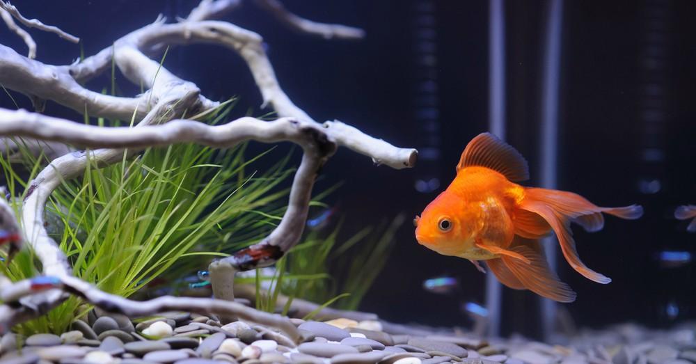 Elegir peces para un acuario de agua fr a blog verdecora for Plantas para estanques de agua fria
