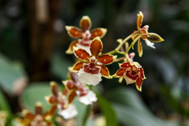 Tipos de orquídeas: Cambria