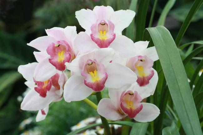 Tipos de orquídeas: Cymbidium