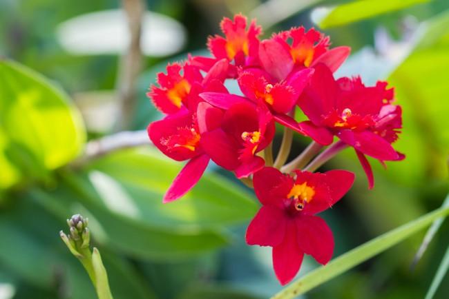 Tipos de orquídeas: Epidendrum