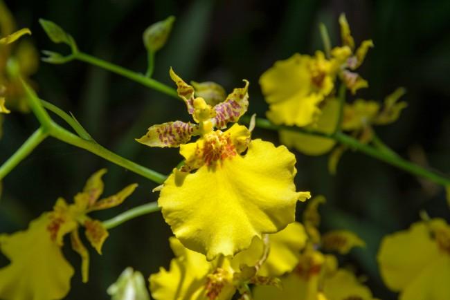 Tipos de orquídeas: Oncidium