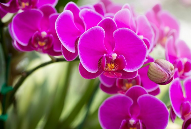 ¡No fui yo! ¡Fue la planta! [Libre] Tipos-orquideas-phalaenopsis