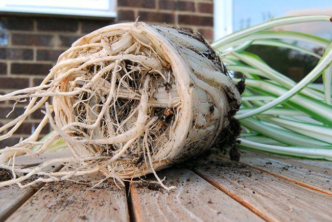 Desenredar las raíces ayudará a la planta a enraizar en su nueva ubicación