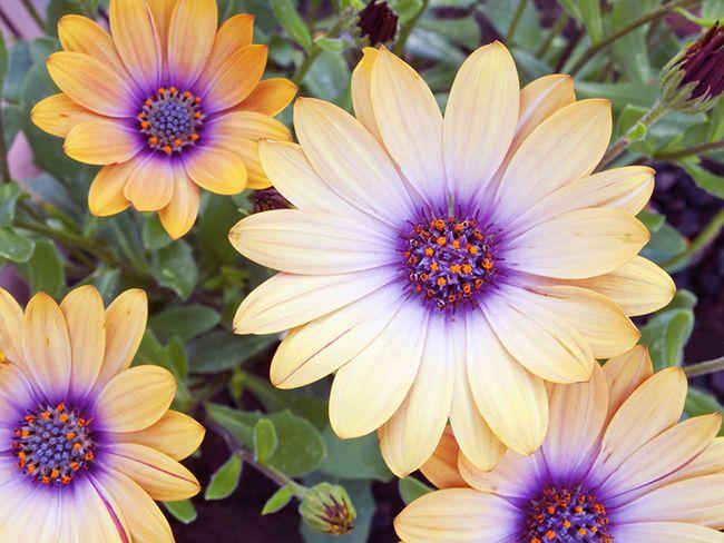 Visita esta variedad de planta aquí en nuestra tienda online