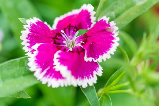 Plantas perfectas para la terraza: Clavelina