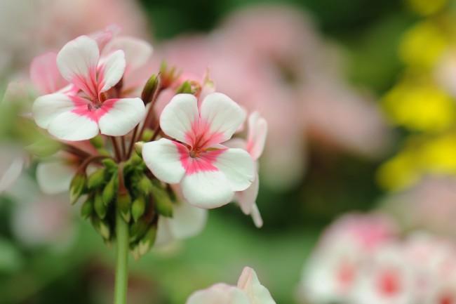 Plantas perfectas para la terraza: Geranio