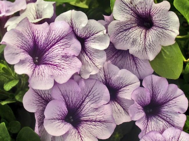 Plantas perfectas para la terraza: Petunias y Surfistas