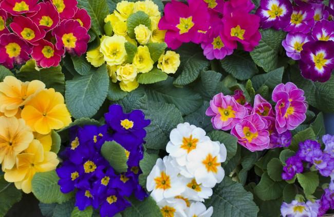Plantas perfectas para la terraza: Prímulas