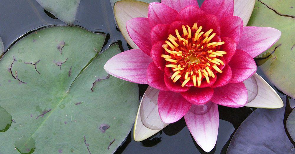 C mo plantar plantas de estanque blog verdecora for Como cultivar tilapia en estanques
