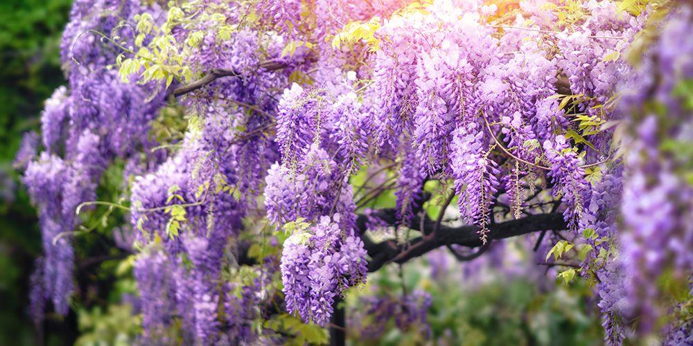 Cuatro preciosas plantas trepadoras con flor blog verdecora for Glicina planta