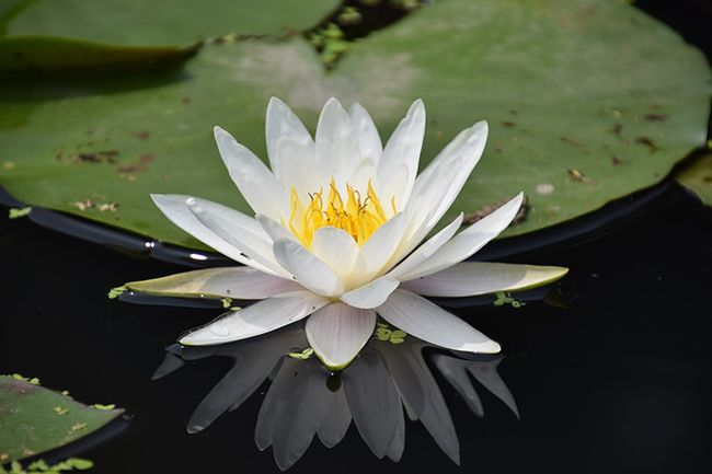 C mo plantar plantas de estanque blog verdecora for Plantas estanque