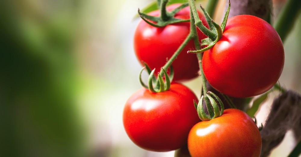 Cultivar tomate ecológico