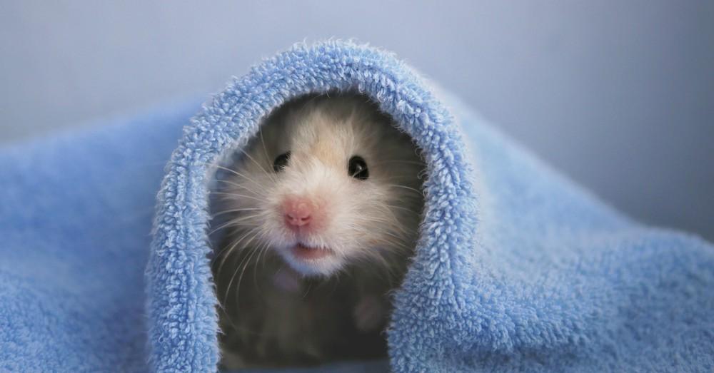 Higiene del roedor