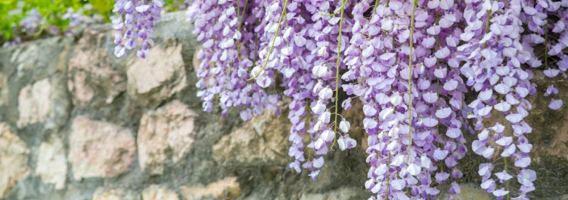 Cuatro preciosas plantas trepadoras con flor blog verdecora - Plantas trepadoras de sol ...