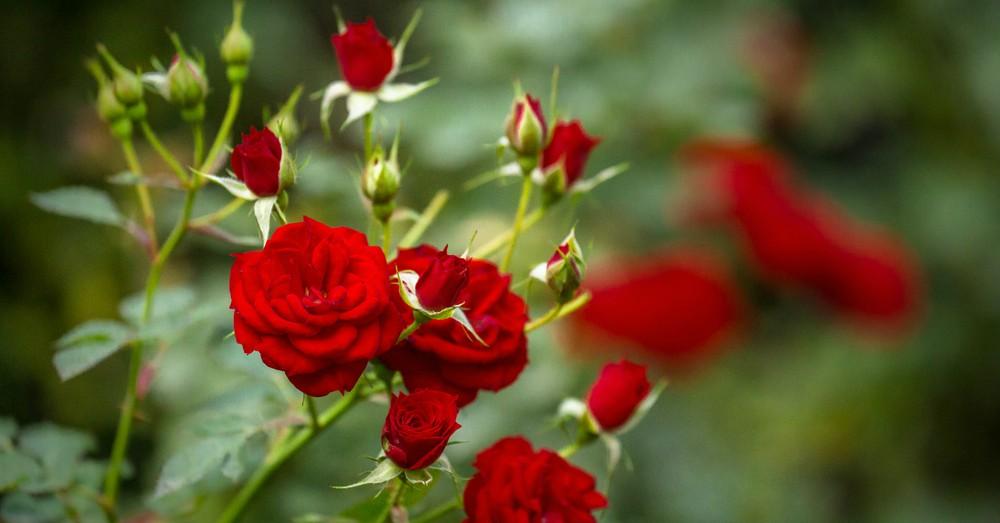 Cuidados del rosal