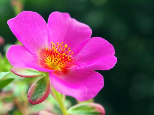 Flor de la Portulaca