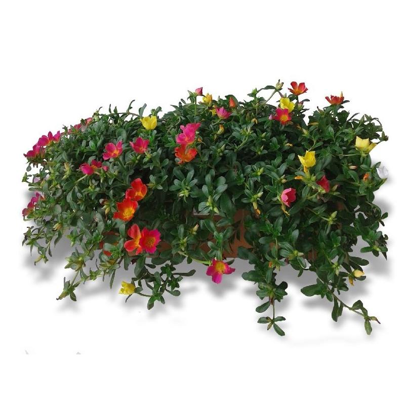 Portulaca, suculenta con flor