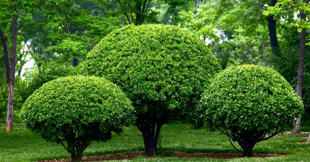Podar arbustos y rboles en julio blog verdecora - Arboles ornamentales para jardin ...
