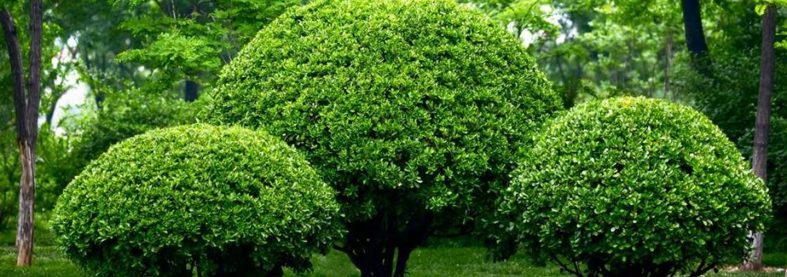 Podar arbustos y rboles en julio blog verdecora for Arboles para jardin de hoja perenne