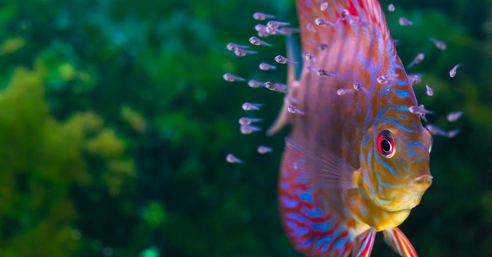 Peces tropicales qu son los c clidos africanos verdecora for Comida para peces tropicales acuario