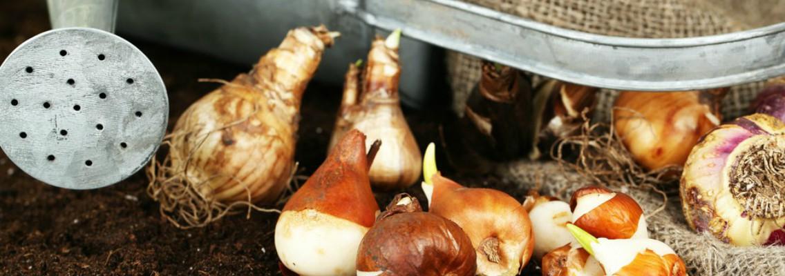 Bulbos para plantar en oto o consejos blog verdecora - Bulbos de otono ...