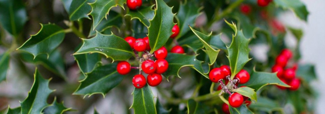 Cuidados del acebo. El símbolo de la Navidad | Blog Verdecora