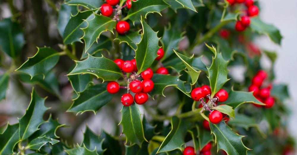Cuidados del acebo el s mbolo de la navidad blog verdecora - Cuidados planta navidad ...