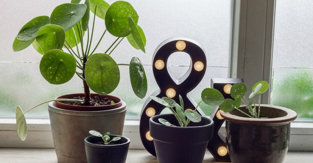 5 ideas para decorar con la planta del dinero china - Planta china del dinero ...