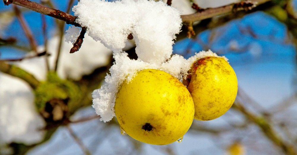 Tratamiento de árboles frutales en invierno