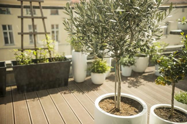 cuidados del olivo la sencillez de un s mbolo blog
