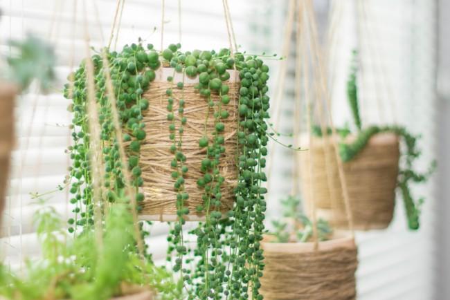 5 plantas suculentas de interior sencillas de cultivar for Plantas suculentas colgantes
