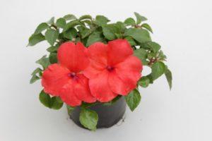 C mo decorar con plantas la cocina blog verdecora - Planta alegria de la casa ...