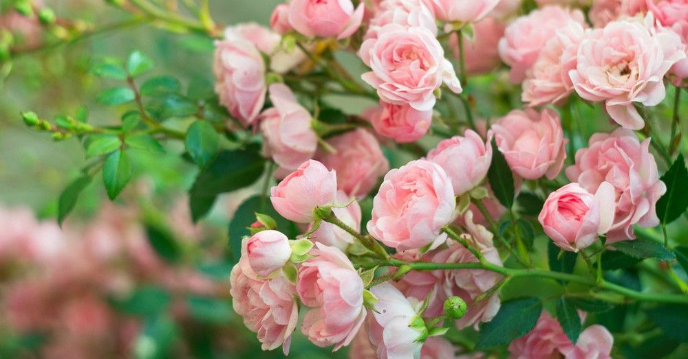 Cómo cuidar las rosas para disfrutarlas | Blog Verdecora