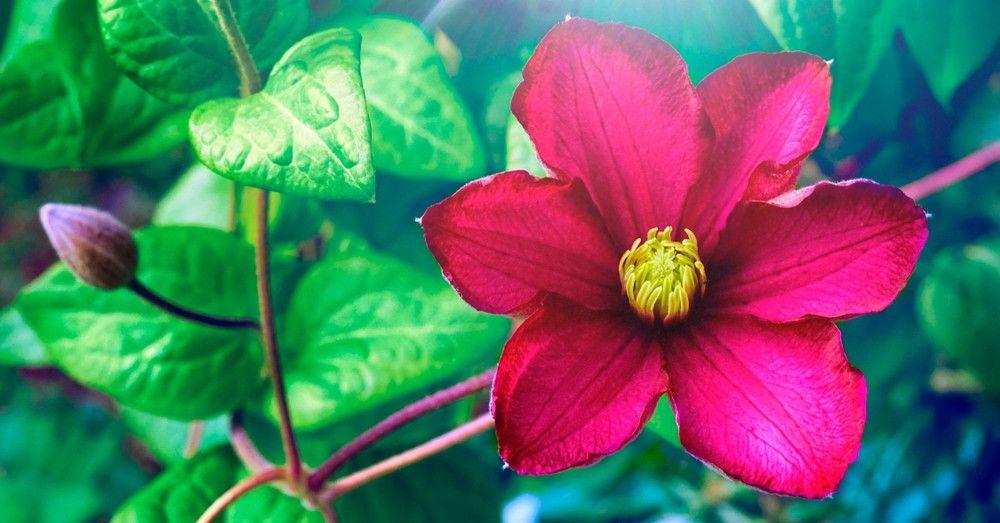 Cinco Plantas Trepadoras Con Flor Para El Jardín Blog Verdecora