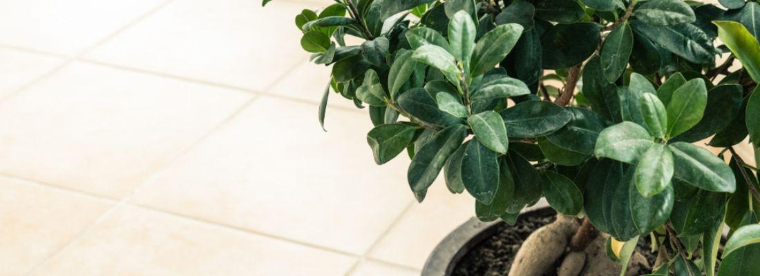 Cómo cultivar el Ficus Ginseng