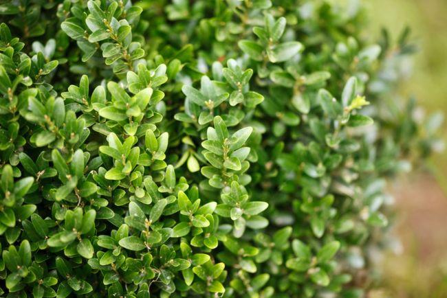 Boj planta resistente para terraza o balcón